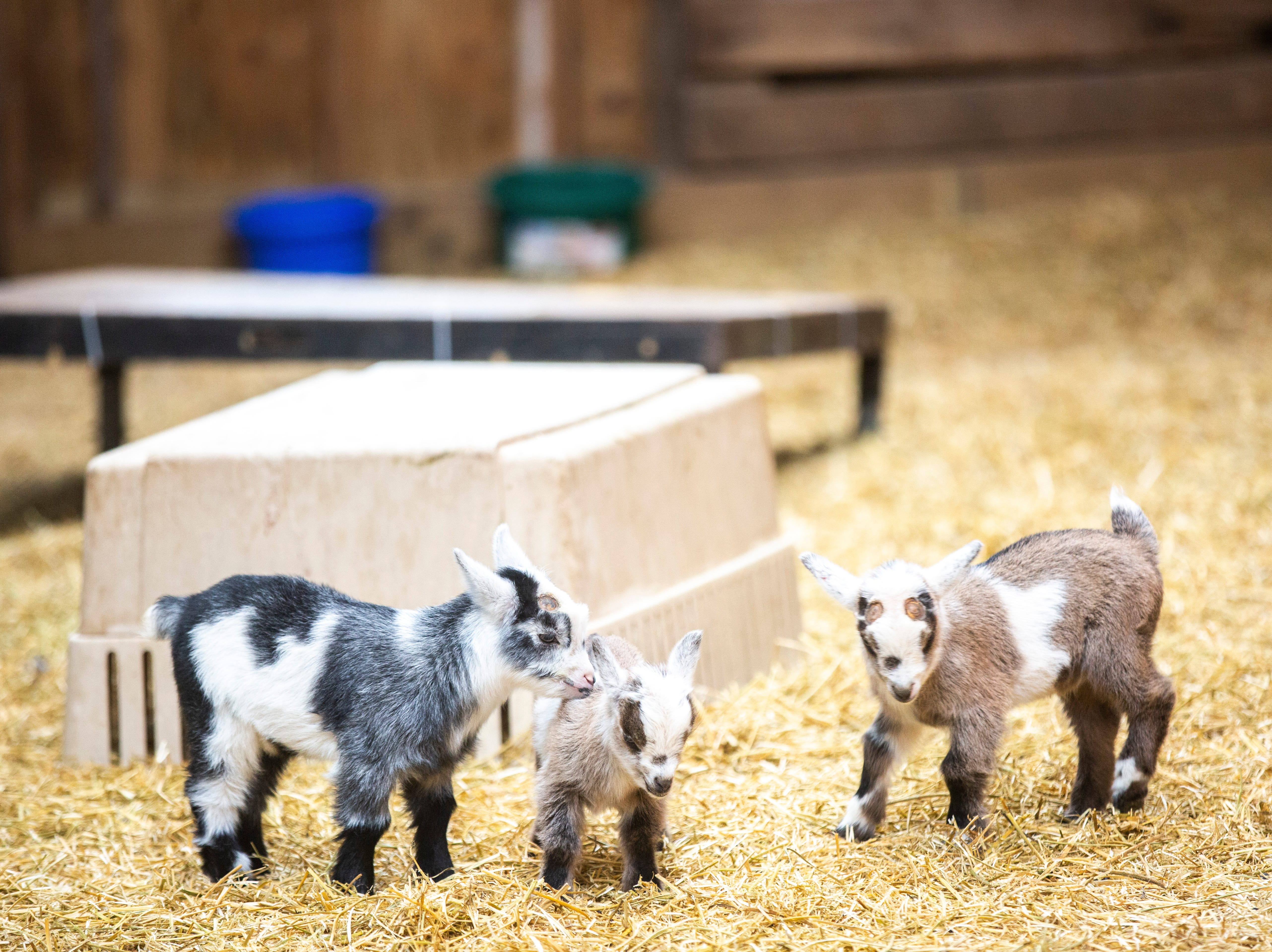 Young dairy goats run around on Thursday, April 11, 2019, at Lucky Star Farm in Iowa City, Iowa.