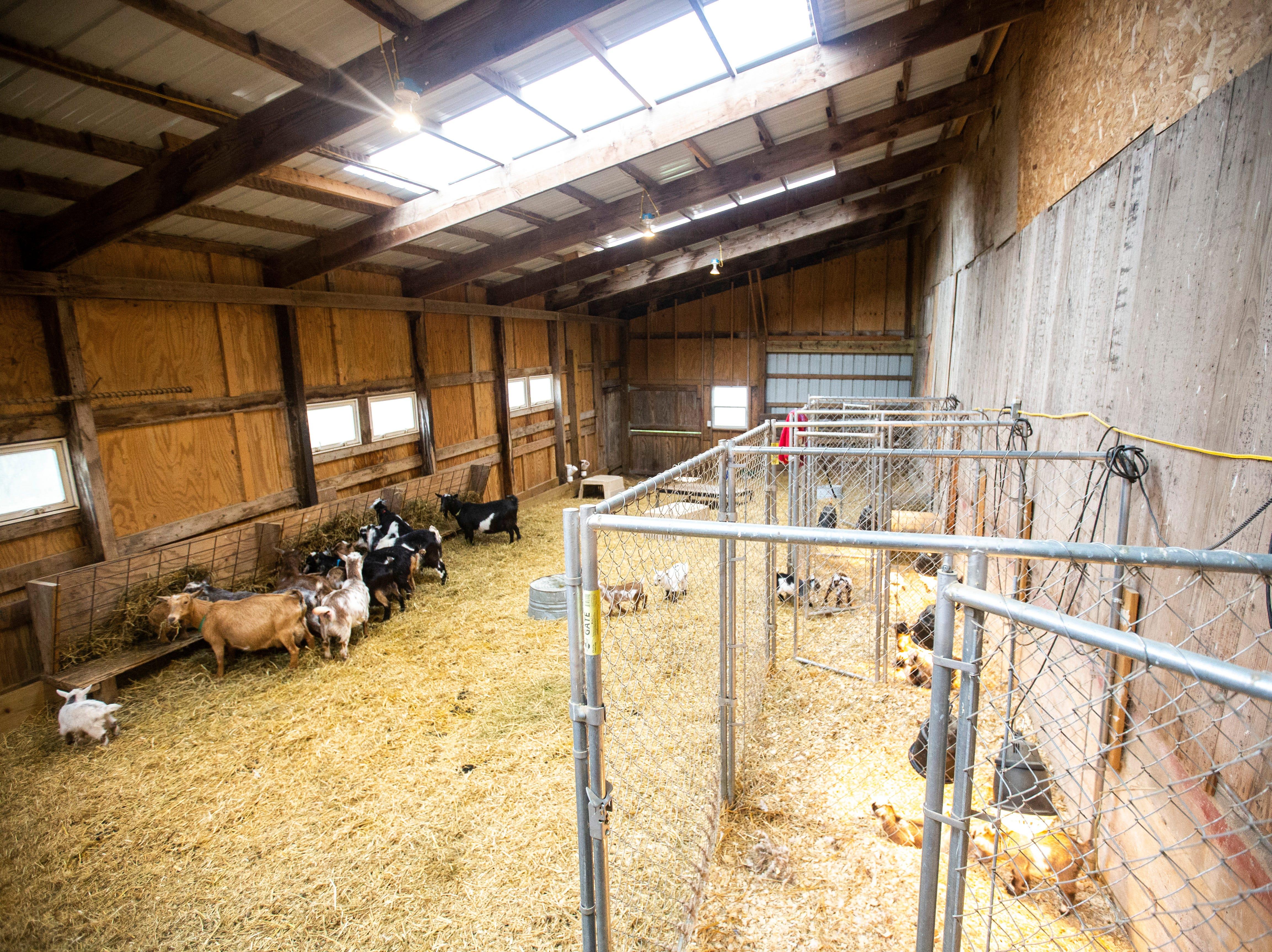 Dairy goats graze on Thursday, April 11, 2019, at Lucky Star Farm in Iowa City, Iowa.