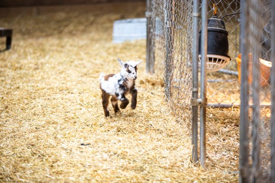 A young dairy goat runs around on Thursday, April 11, 2019, at Lucky Star Farm in Iowa City, Iowa.