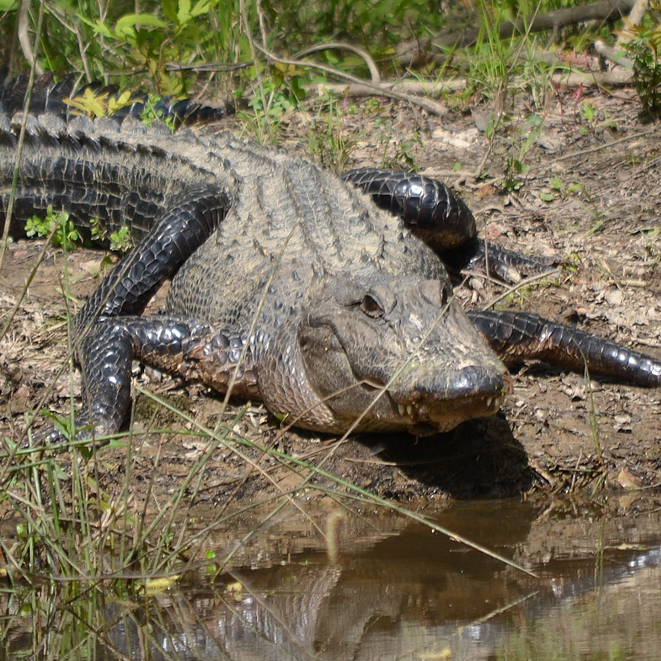 Alligators are becoming more active and people will soon begin to see them in unusual places.