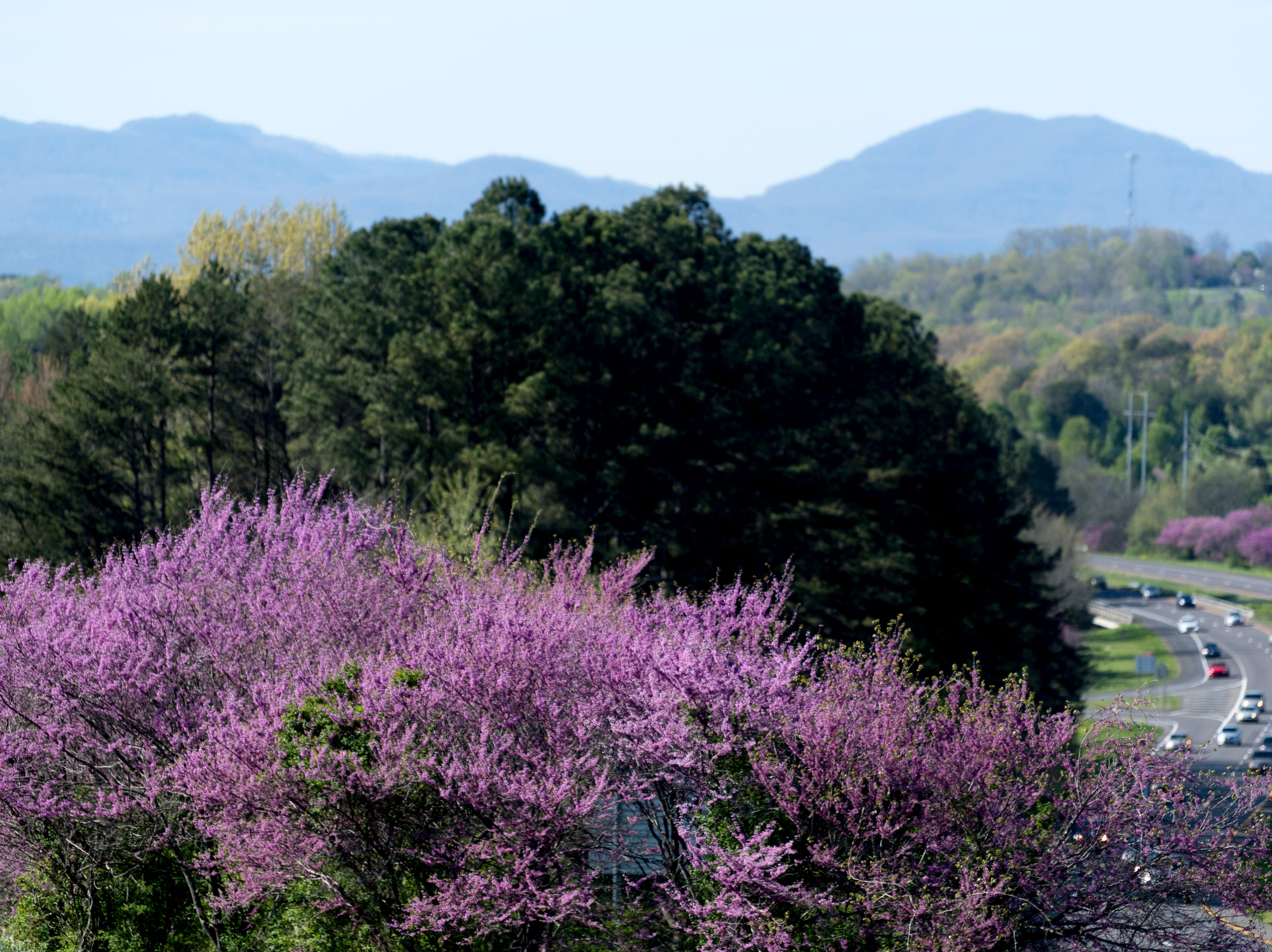 Redbuds bloom along Pellissippi Parkway in Knoxville on Wednesday, April 10, 2019.