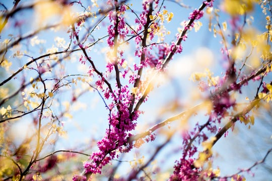 A redbud tree blooms in Knoxville, Tennessee on Wednesday, April 10, 2019.