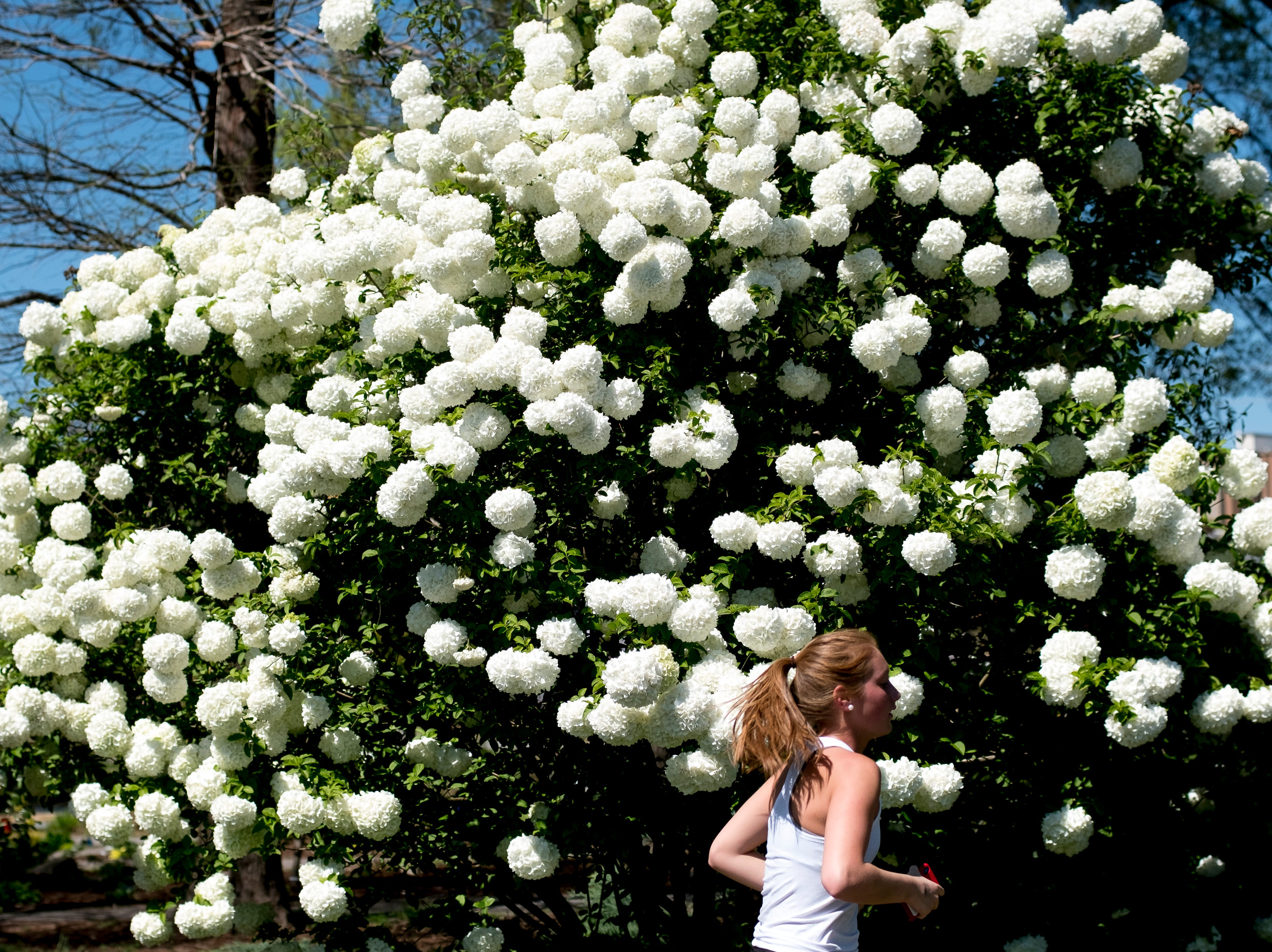 A jogger passes a Chinese snowball viburnum at the UT Botanical Gardens in Farragut, Tennessee on Wednesday, April 10, 2019.