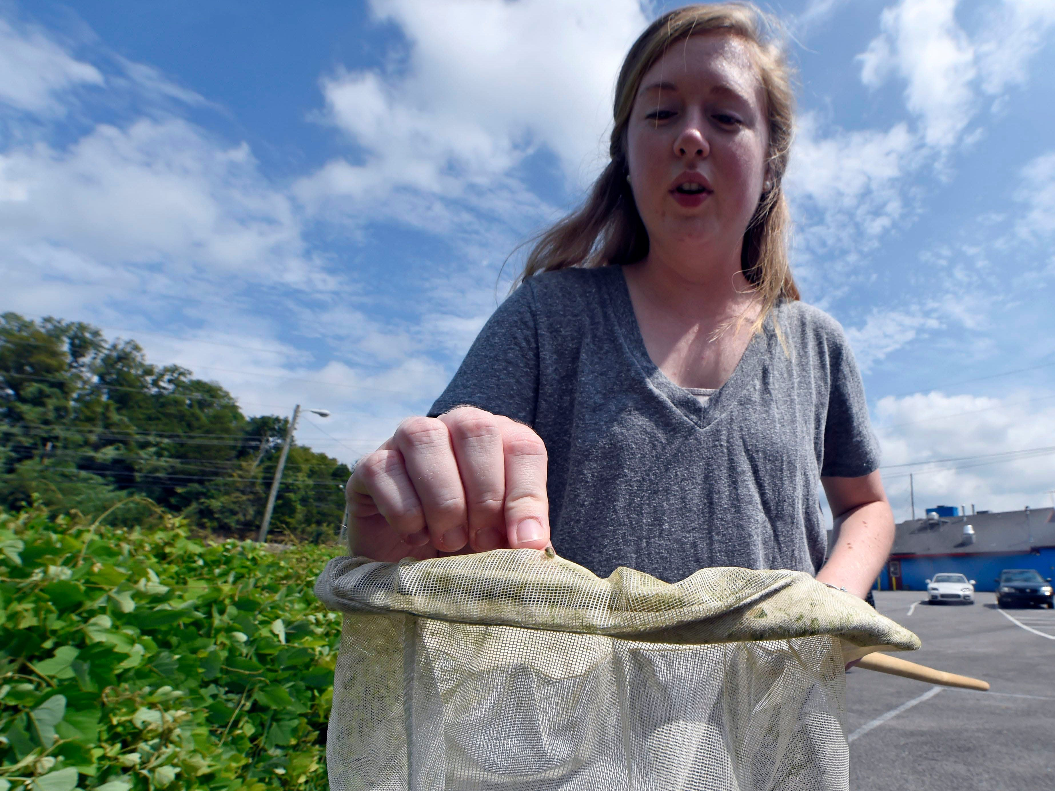 Kadie Britt, a UT graduate student, displays a kudzu bug after netting it in a field of overgrown kudzu on Chapman Highway in Knoxville on Thursday, Sept. 11, 2014.