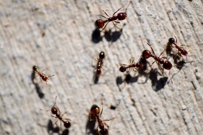 Ants run along a sidewalk in Knoxville, Tennessee on Wednesday, April 10, 2019.