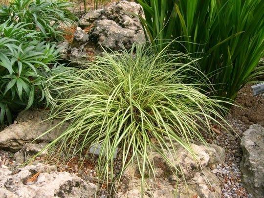 EverColor® Series Sedge Selections (Carex oshimensis)