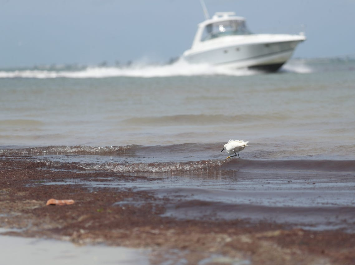 Red drift algae accumulates at Bowdtich Point on the north end of Fort Myers Beach on Monday, April, 8, 2019. The nontoxic smelly algae is showing up in patches throughout Southwest Florida. Some water quality scientists say that the algae is fed by higher nutrient levels from runoff and other issues.