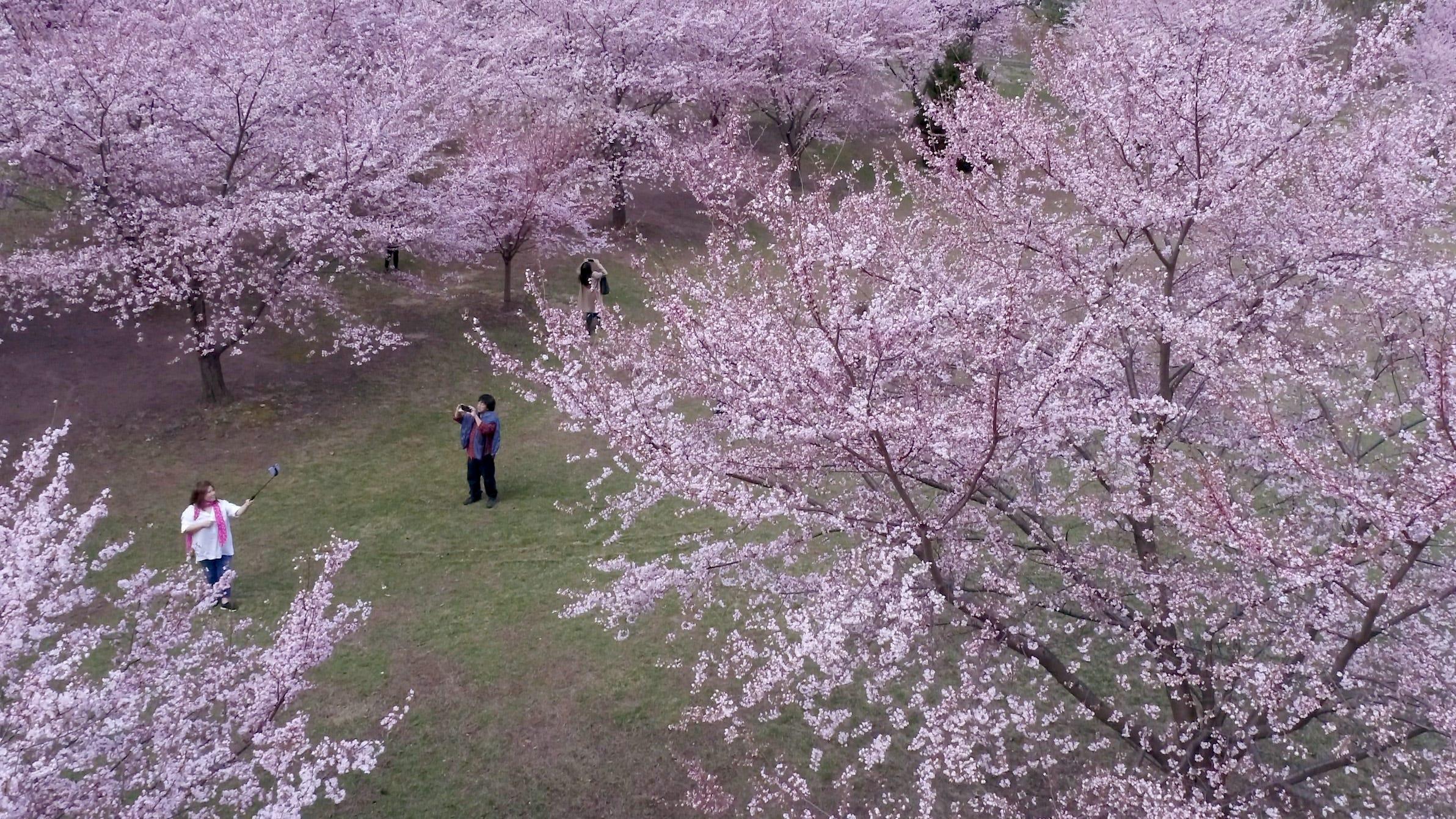 Branch Brook Park Cherry Blossom Festival 2020.Branch Brook Park Cherry Blossoms 2019 How And When To See Them