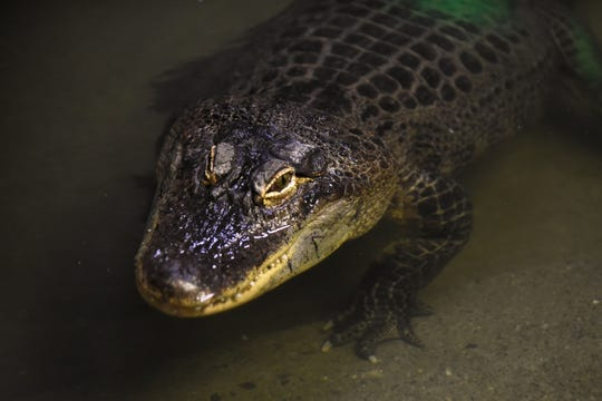 An American alligator in it's enclosure at the Bergen County Zoo in Paramus on Wednesday April 10, 2019.