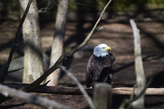 A bald eagle at the Bergen County Zoo in Paramus on Wednesday April 10, 2019.