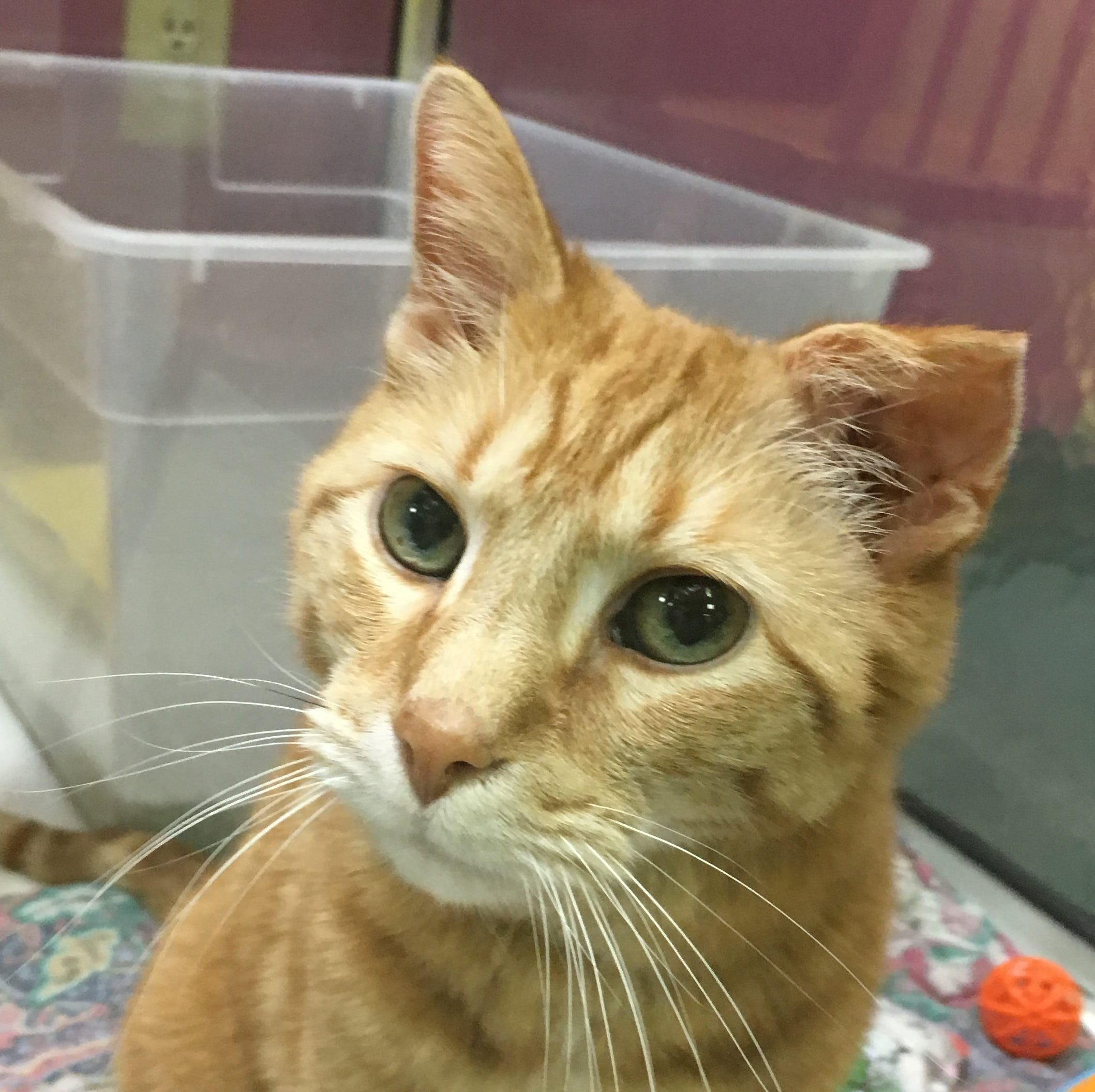 Oshkosh Northwestern Pet of the Week: Oscar the cat is looking for a 'grumpy old man'