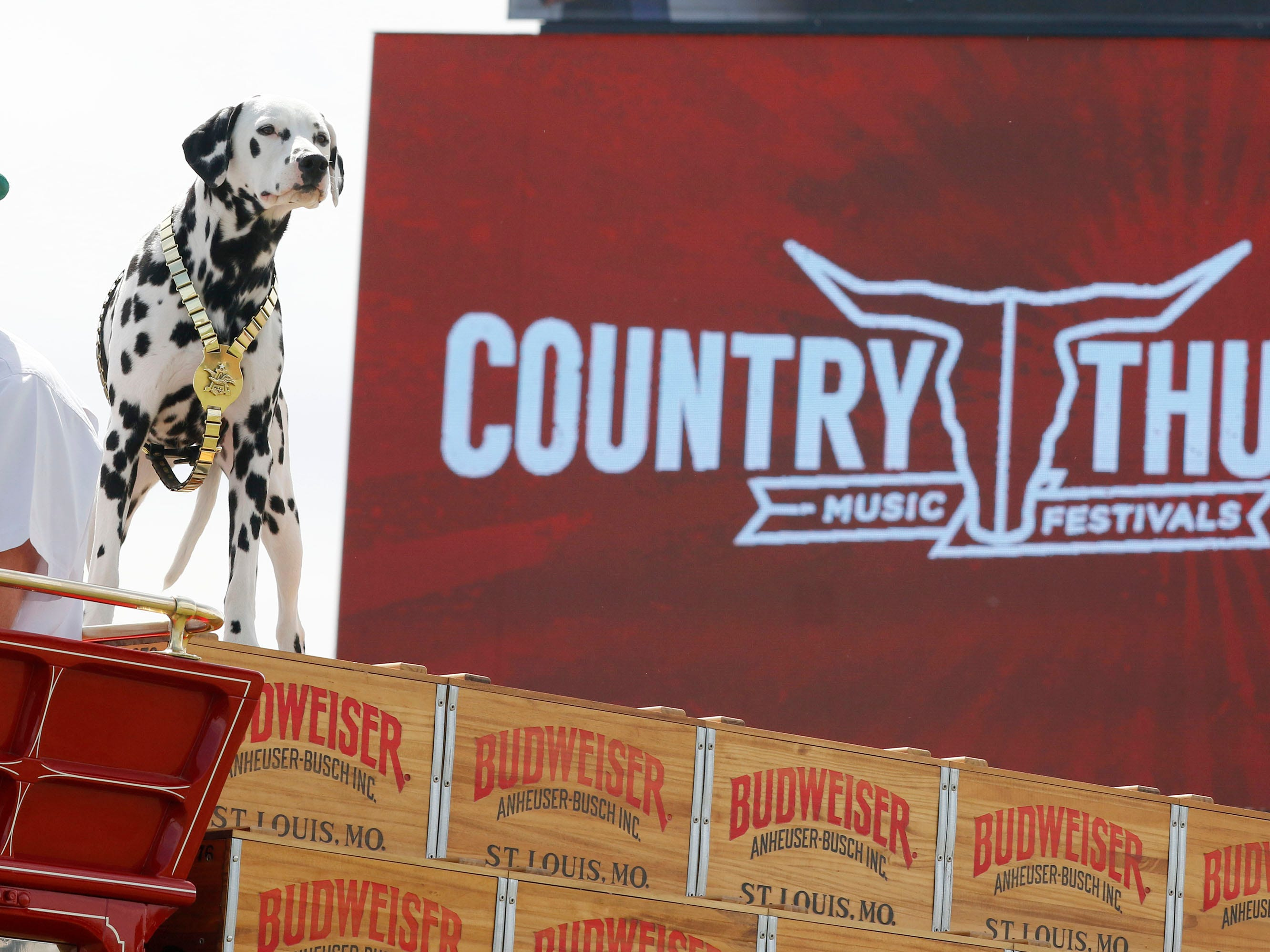 Auggie, Budweiser's mascot, has the best seat in the house atop the wagon of the Clydesdales during Country Thunder Arizona gets underway on April 11, 2019, in Florence.