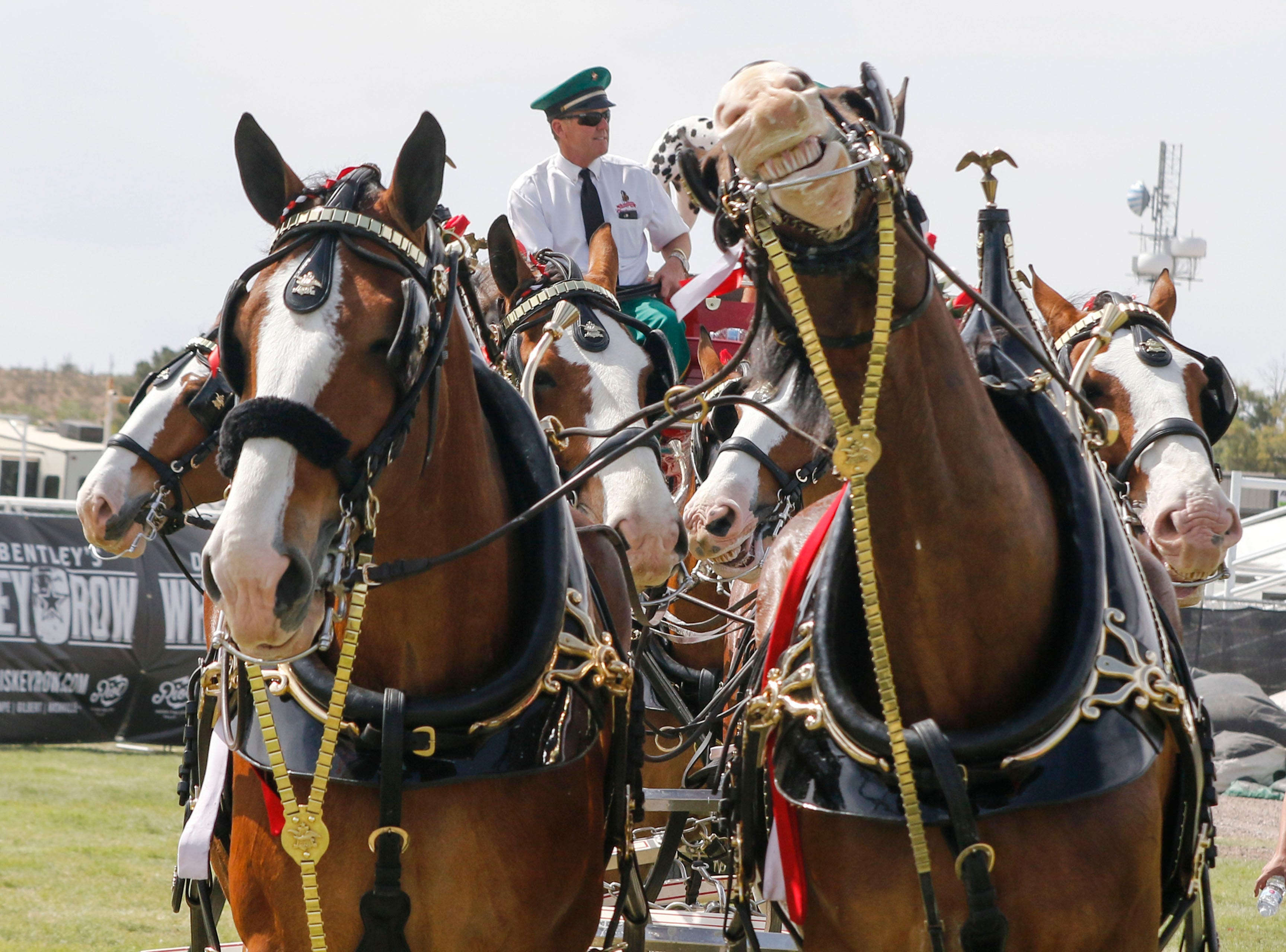 A Budweiser Clydesdale appears to be smiling as others take their job a little more seriously as they make an appearance during Country Thunder Arizona on April 11, 2019, in Florence.