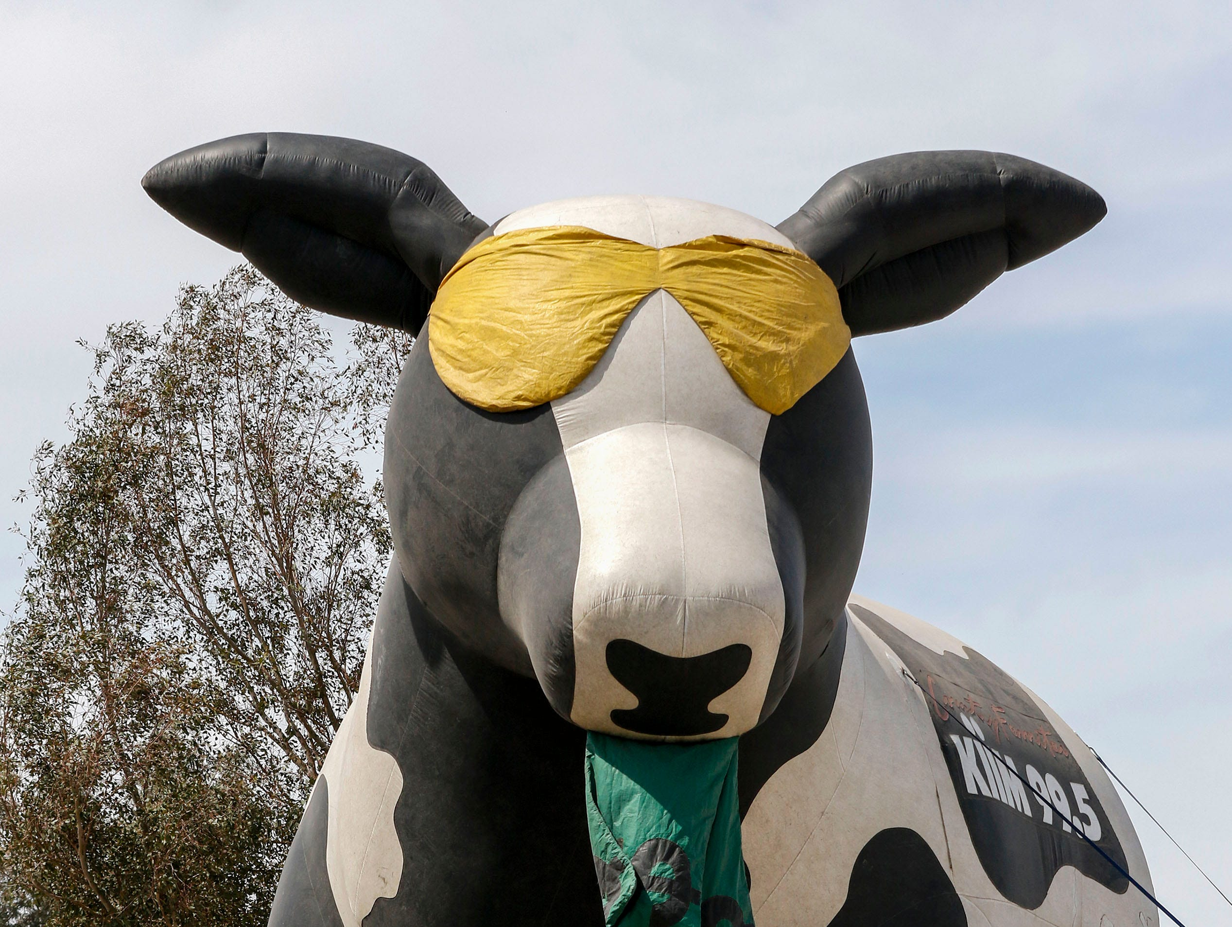Fighting the wind, workers try to heard an inflatable cow as Country Thunder Arizona gets underway on April 11, 2019, in Florence.