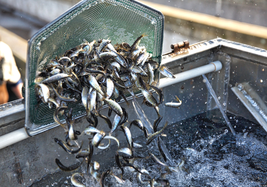 Winter-run juvenile Chinook salmon being prepared for release at Coleman National Fish Hatchery in March 2018.
