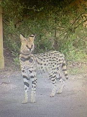 An exotic cat weighing around 25 pounds and wearing a collar was spotted on Shore Drive in Virginia Beach, Virginia on Wednesday, April 10, 2019.