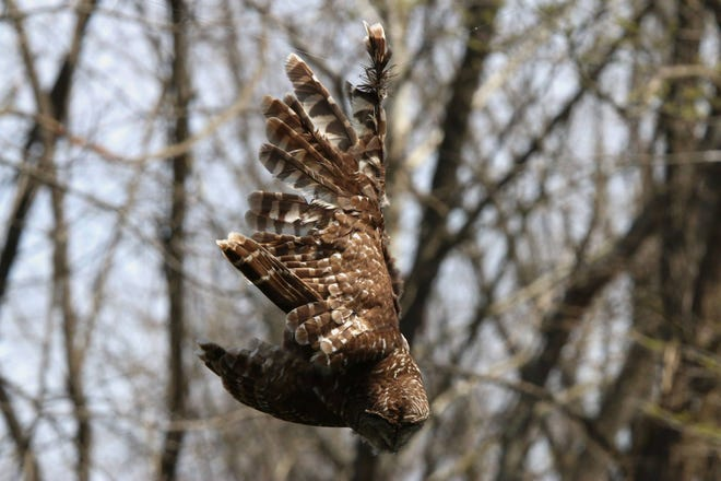 This barred owl was unable to escape fishing line that wrapped around its right wing above the James River.