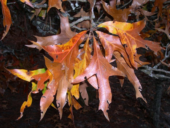 Some people think that the leaves of the turkey oak resemble a turkey's foot.