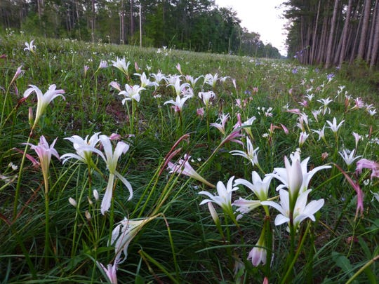 Roadside Rain Lilies – a Florida Native plant sometimes called an Easter Lily.