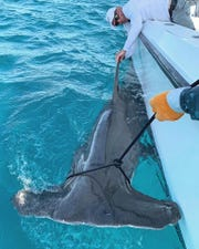 Former pro golfer Greg Norman of Hobe Sound prepares to release a hammerhead shark measuring 14 feet, 7 inches caught recently off Jupiter Island.