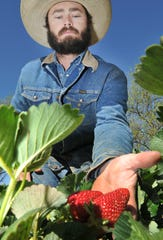 Farmer, Will Morath freshly grown strawberries at his farm in Charlie, Tx U-Pick Strawberries located at The King's Good Vineyard and Berry Farm U-Pick Strawberries celebrated their grand opening  Thursday morning.