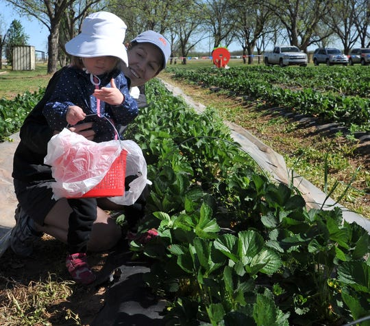 Jessica Bachman picks strawberries with her two-year-old daughter, Lena during opening day at U-Pick Strawberries located at The King's Good Vineyard and Berry Farm, in Charlie Thursday morning.