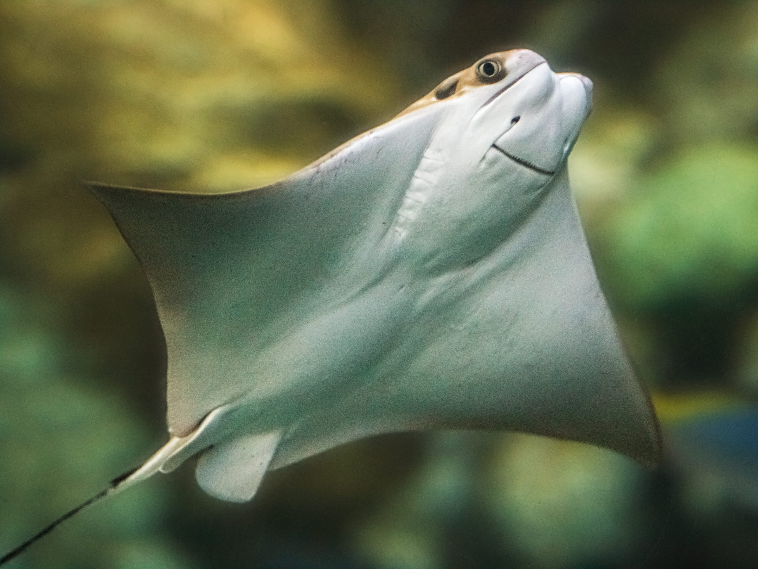 Smiling for the camera, this cownose ray was born in March at the Aquarium of the Pacific in Long Beach, California.