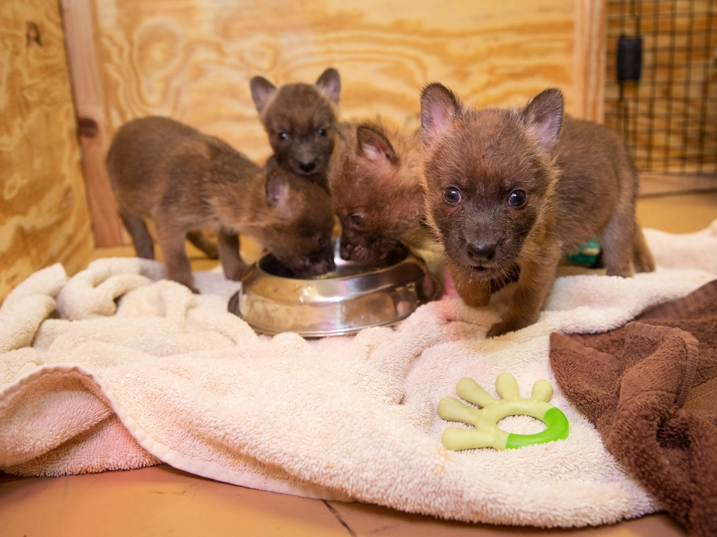 These dhole (Asiatic wild dog) pups were born Feb. 16 and can be seen in The Wilds, a nonprofit safari park and conservation center in Columbus, Ohio.