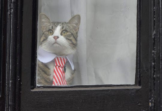 Julian Assange's cat wearing a tie looks out of the window of the Ecuadorian Embassy in London, Britain, 14 November 2016.
