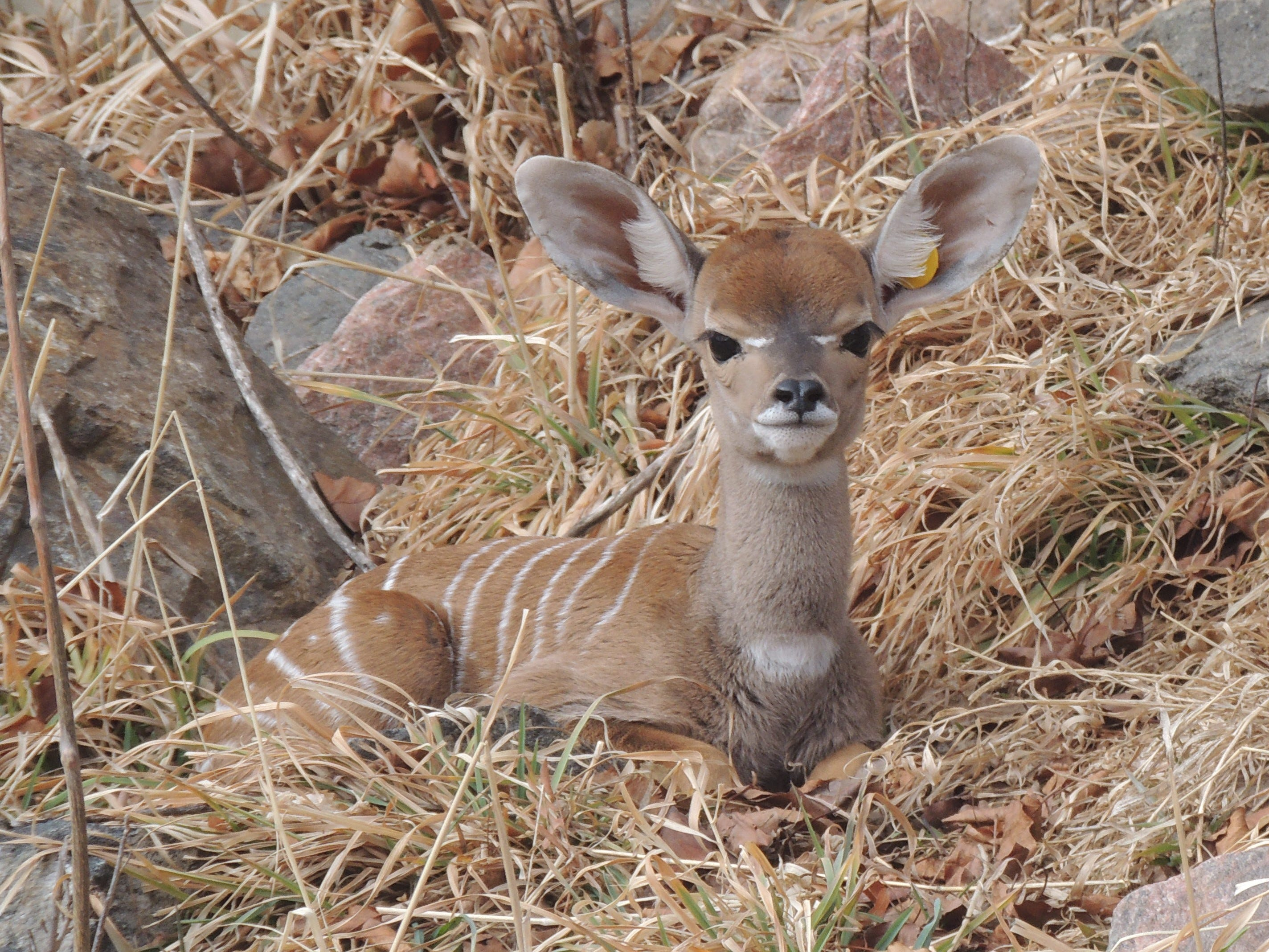 This little lesser kudu was born Feb. 5 and can be seen at the Central Ranges Exhibit at the Denver Zoo.