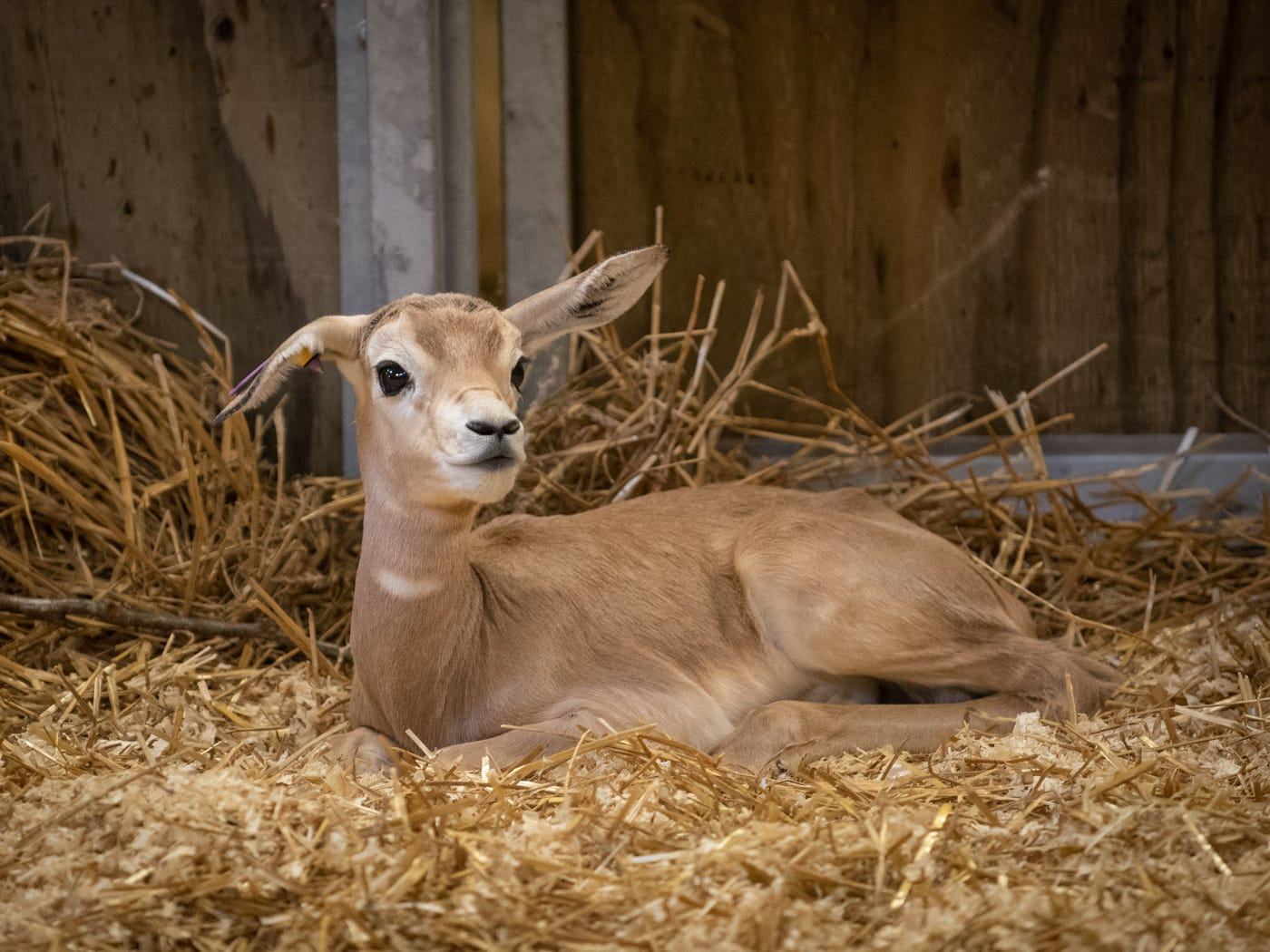 Kix, a male dama gazelle calf, was born Jan. 30 at the Columbus Zoo and Aquarium.