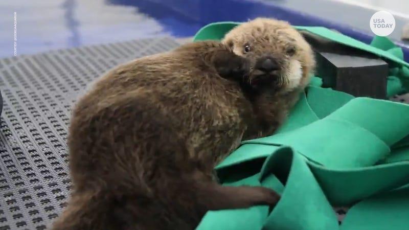 Meet the precious baby sea otters named Mara and Gibson at Georgia Aquarium