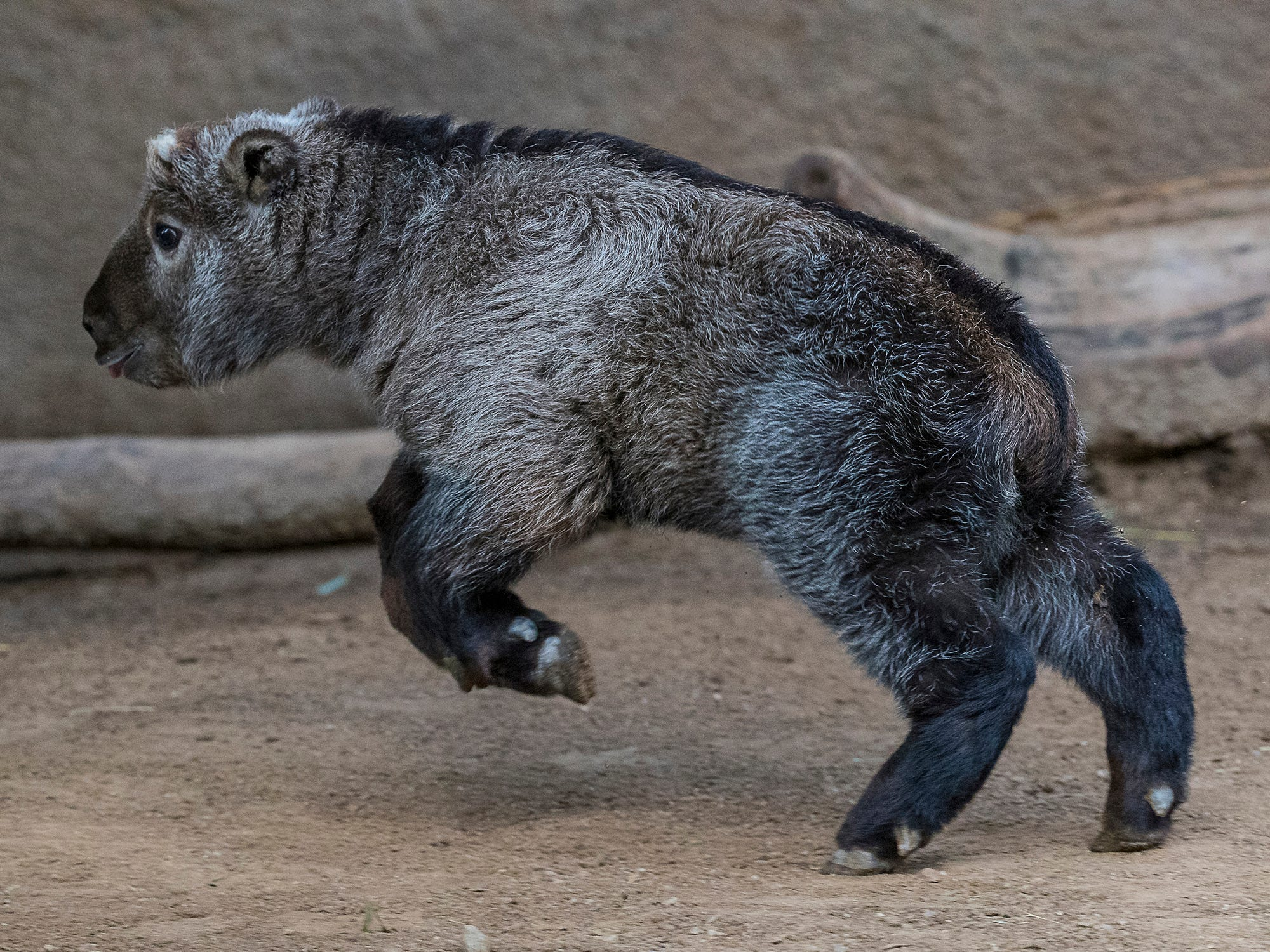 This playful takin was born in February at the San Diego Zoo.