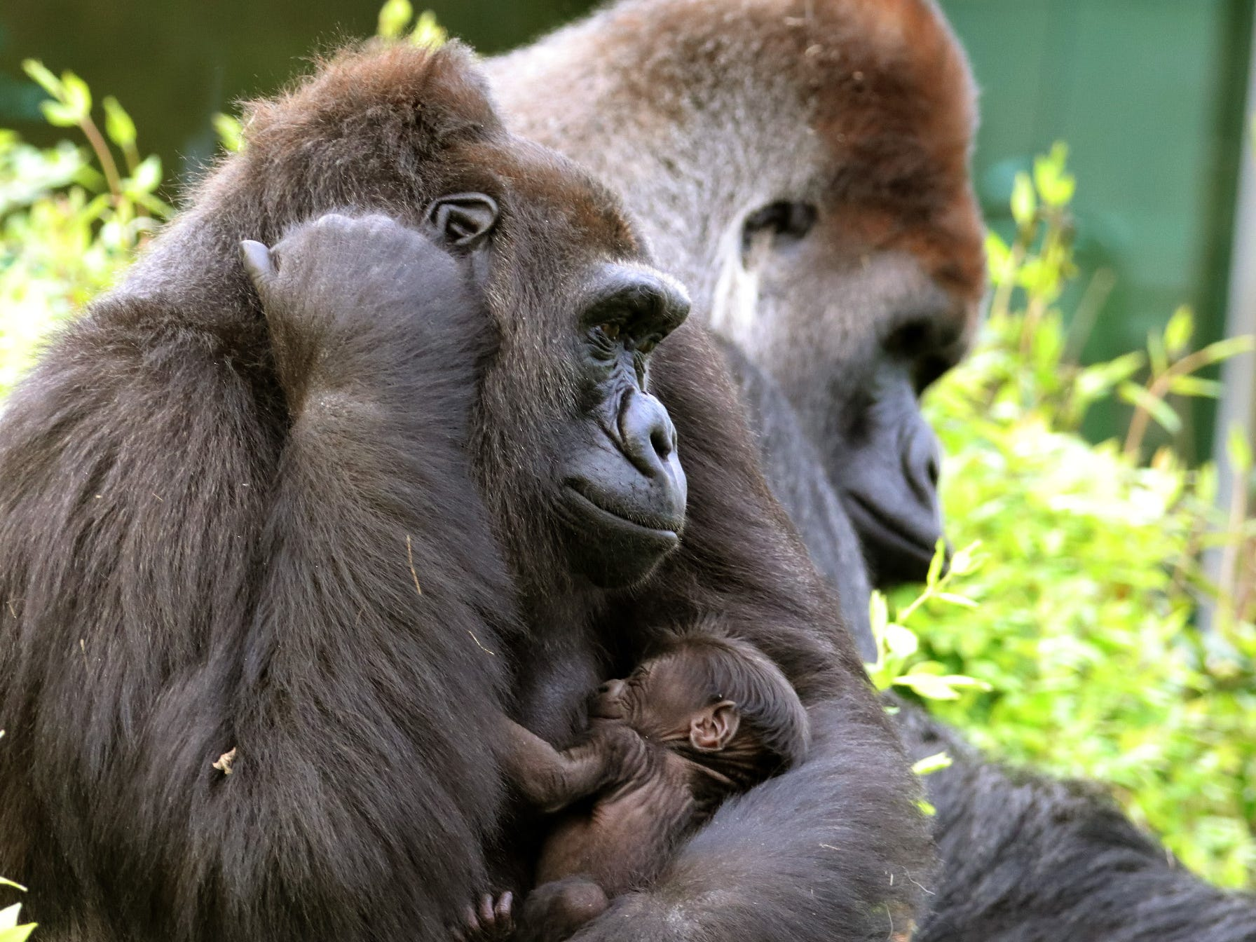 Mama Megan holds her baby gorilla, born March 7, at the Dallas Zoo.