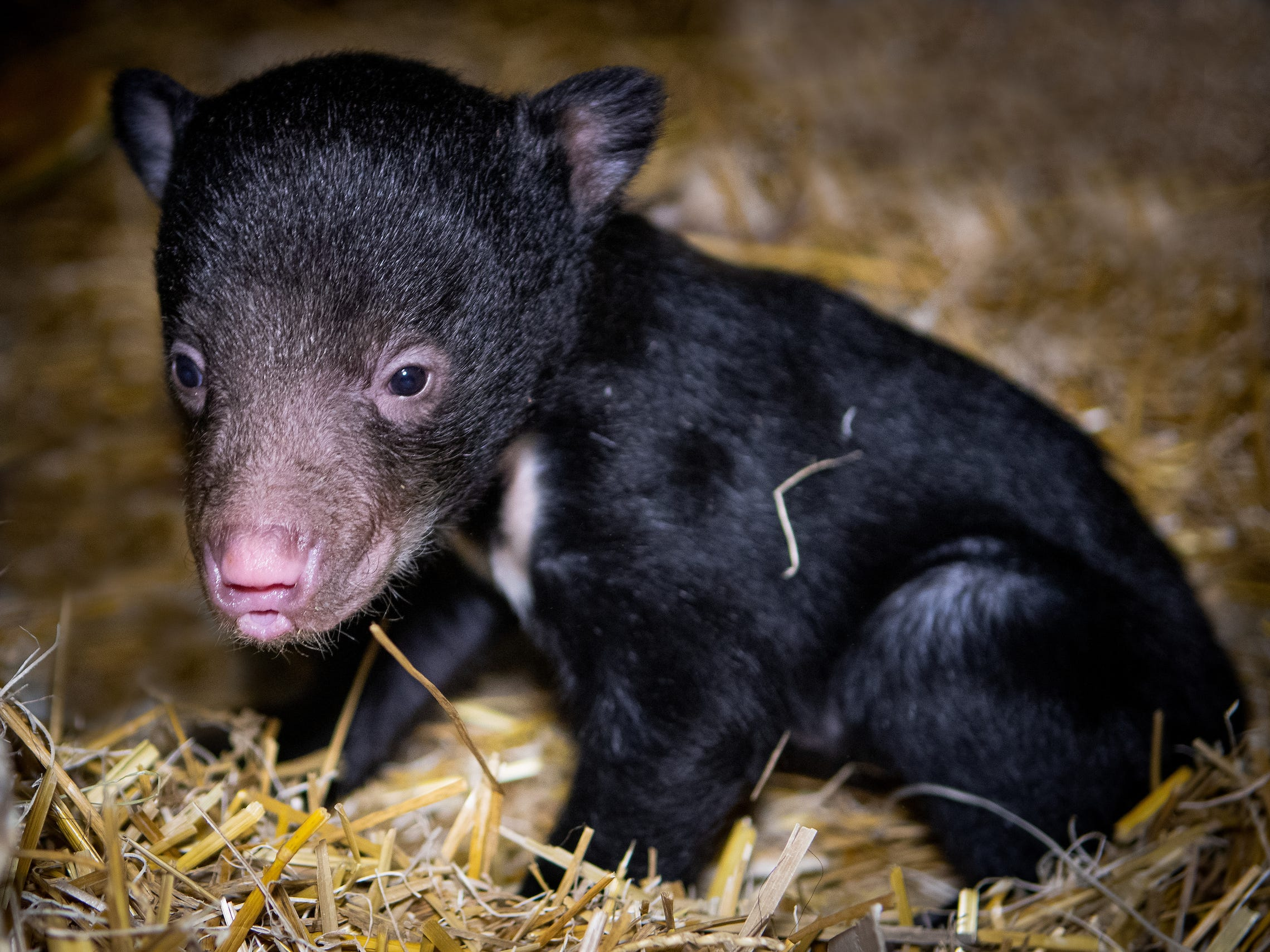 The first sloth bear cub in 30 years was born at Cleveland Metroparks Zoo on Jan. 14.