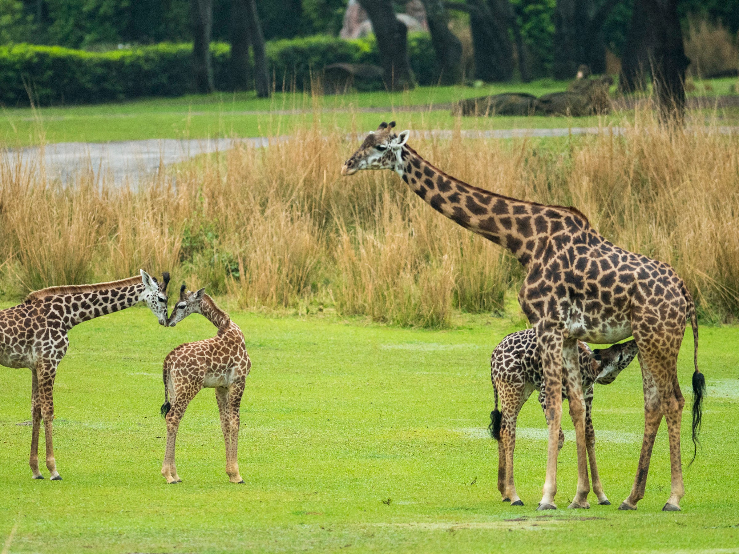 Jabari has spent the past two months bonding with his mom, Mara, in a backstage habitat. He is the first giraffe calf to be born on the savanna at Disney's Animal Kingdom.