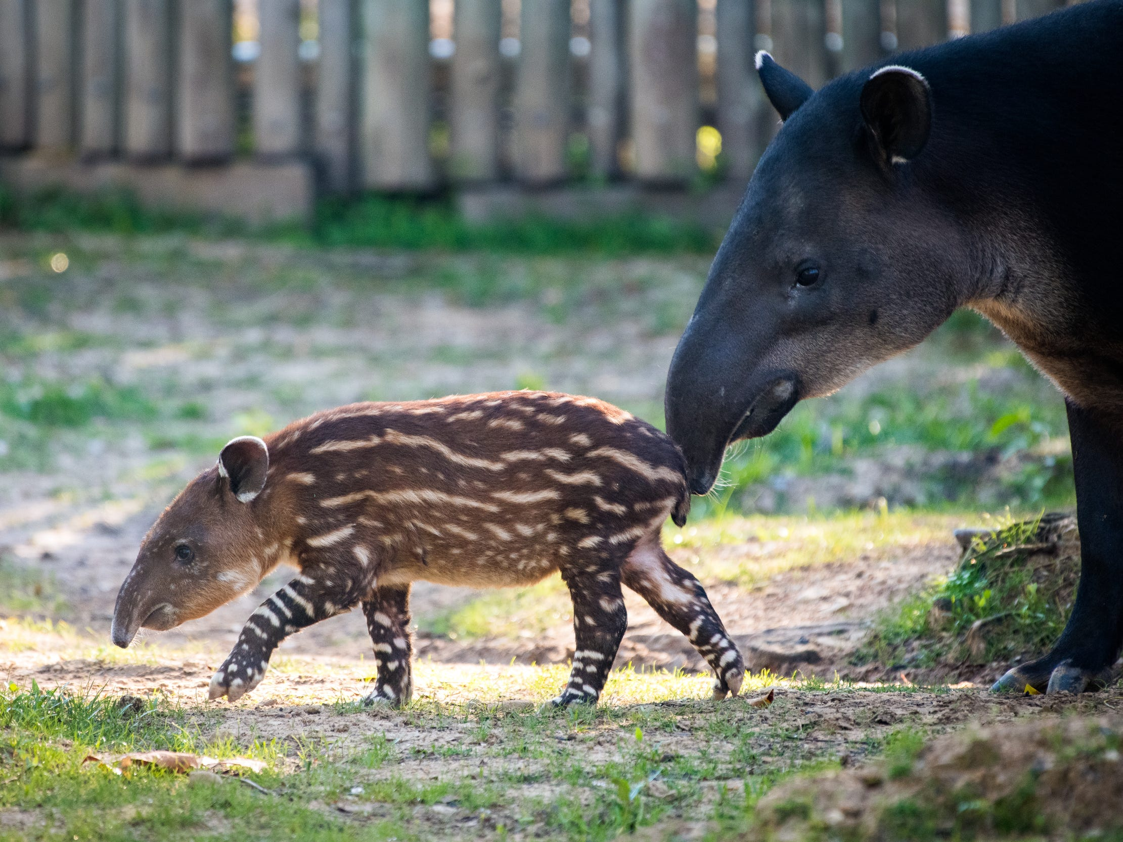 Frida can be seen with her mom at the Houston Zoo.