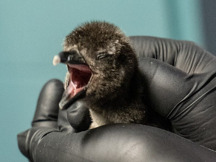Being a baby is exhausting, as shown here by the penguin chick at the Georgia Aquarium.