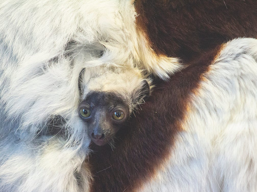 Wolfgang, the Philadelphia Zoo's baby Coquerel's sifaka, cuddes up with his mom.