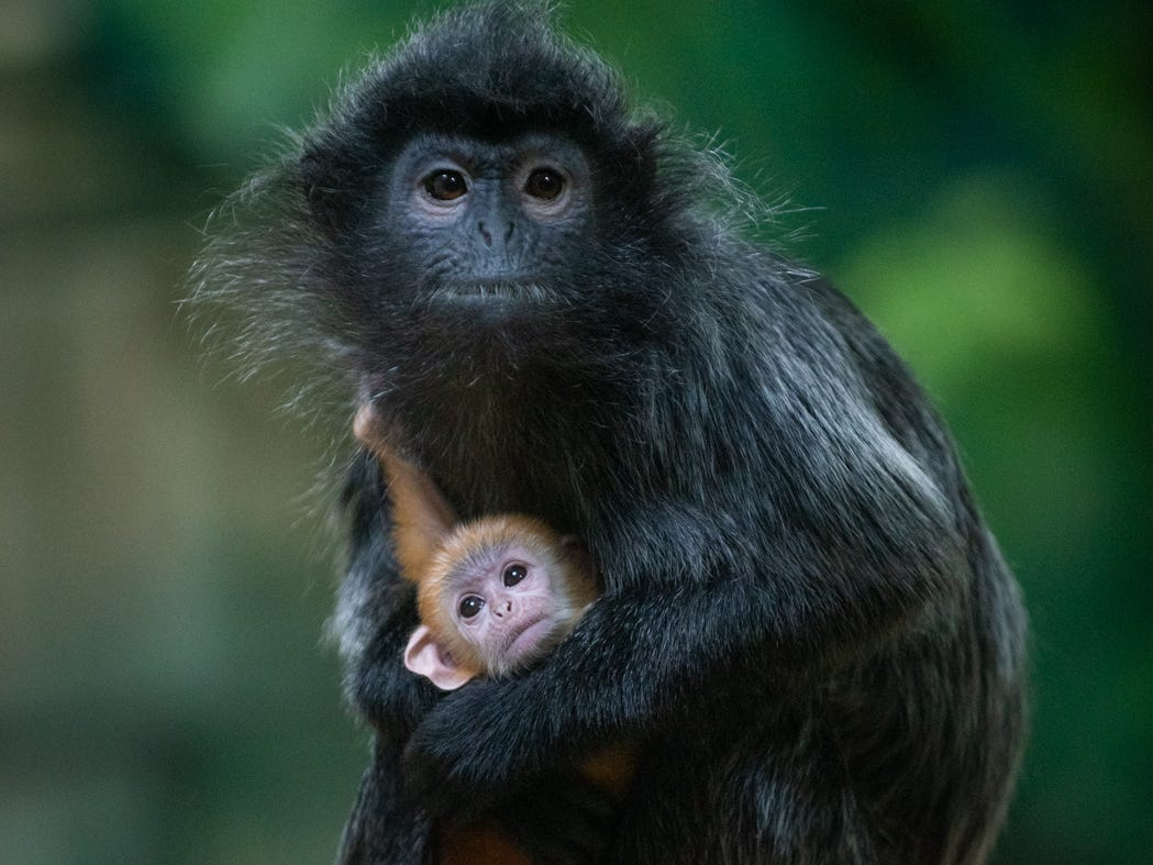 A silvered leaf langur mama and her baby, born Jan. 23, at the Columbus Zoo and Aquarium.