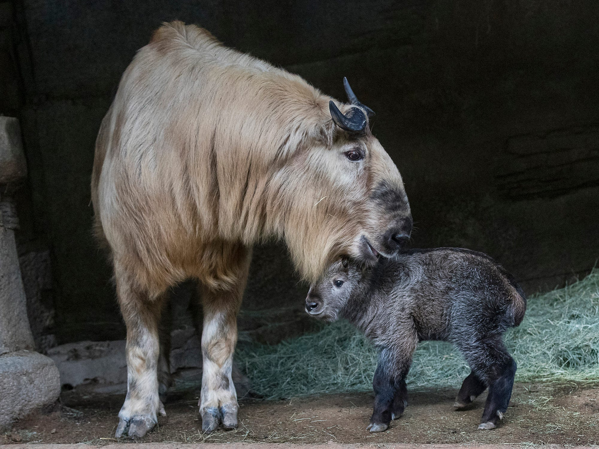 The baby takin with its mama at the San Diego Zoo.