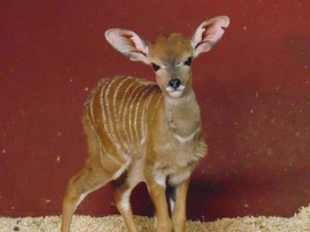Biff, a lesser kudu, was born Jan. 9 at the Saint Louis Zoo.