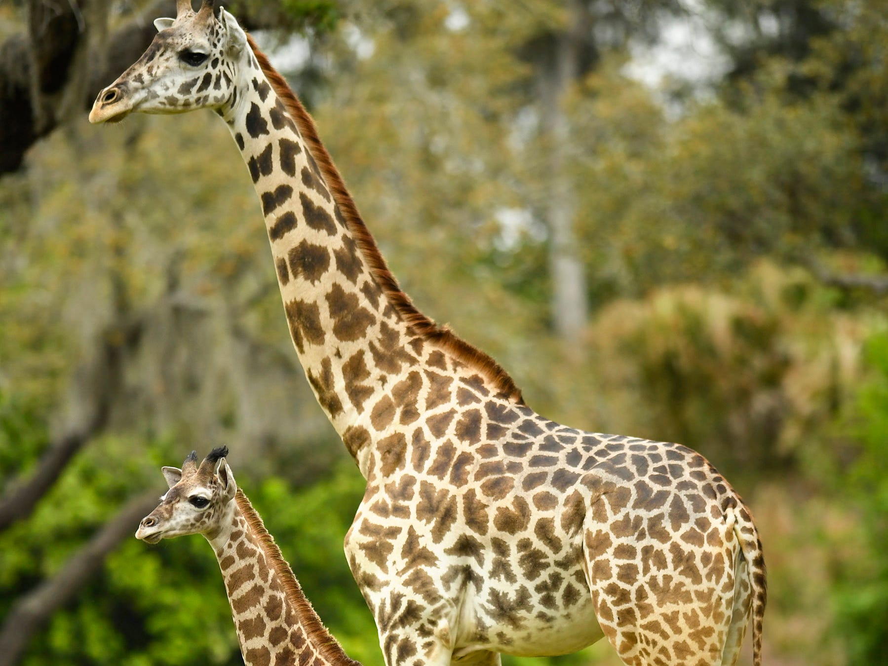 A 2-month-old male Masai giraffe named Jabari has officially joined the  herd at Disney's Animal Kingdom at Walt Disney World Resort in Lake Buena Vista, Florida.