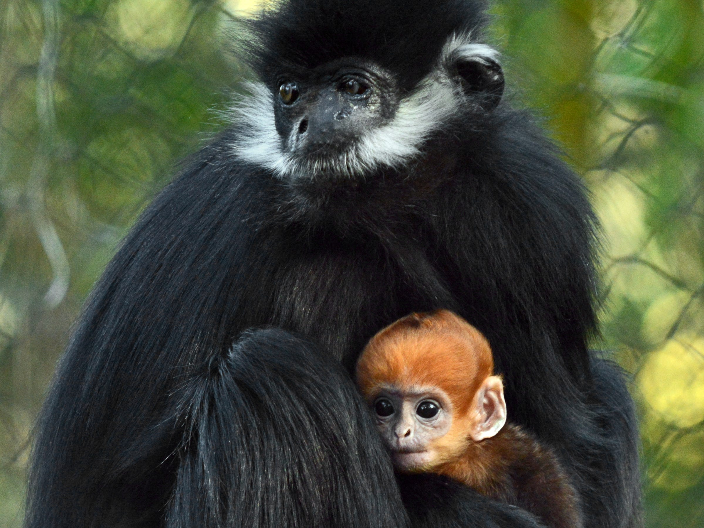 This female Francois' langur baby was born Feb. 11 and can be seen near Tiger Plaza at the Los Angeles Zoo.
