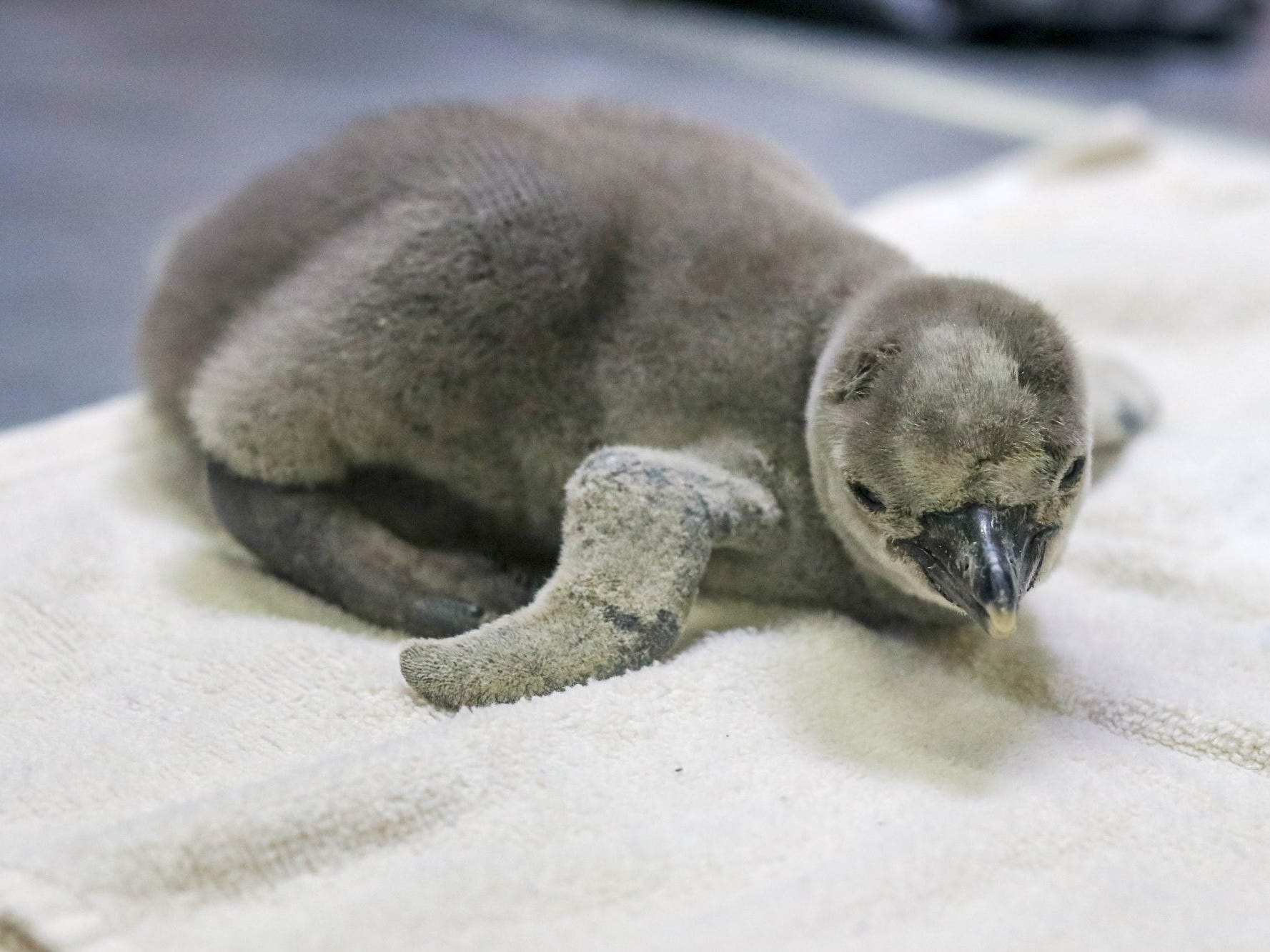 This Humboldt penguin chick hatched Feb. 15 at the Sedgwick County Zoo in Wichita, Kansas.