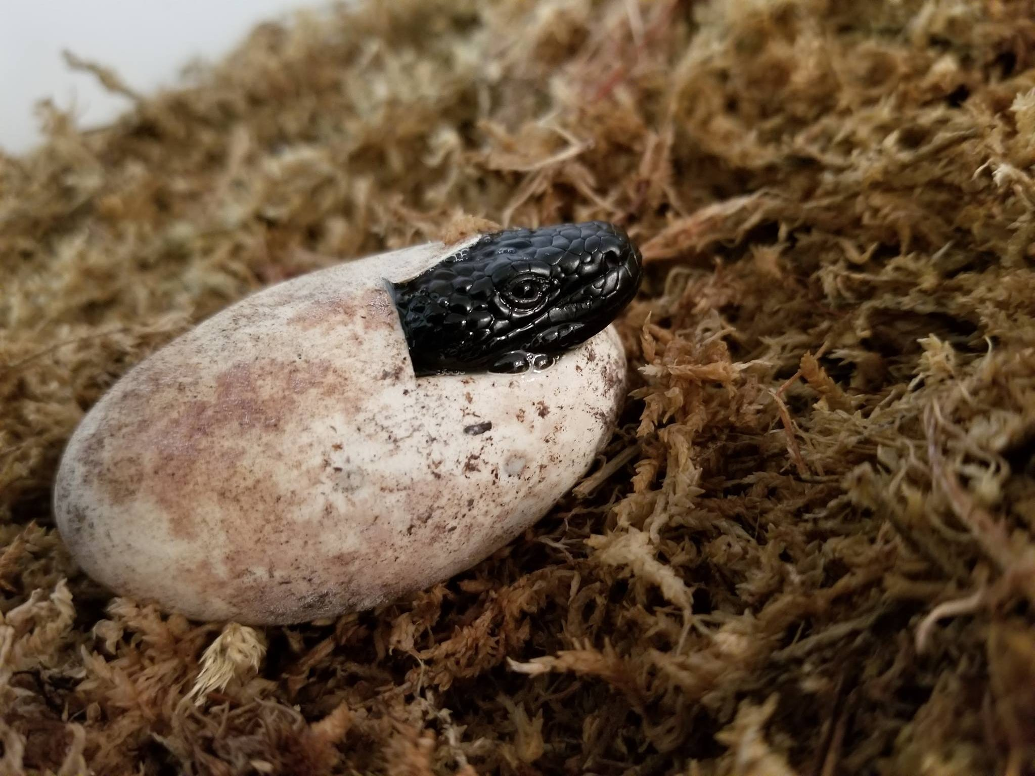 Seven Mexican beaded lizards hatched between late January and early February and are on view in the Oklahoma City Zoo's herpetarium building.