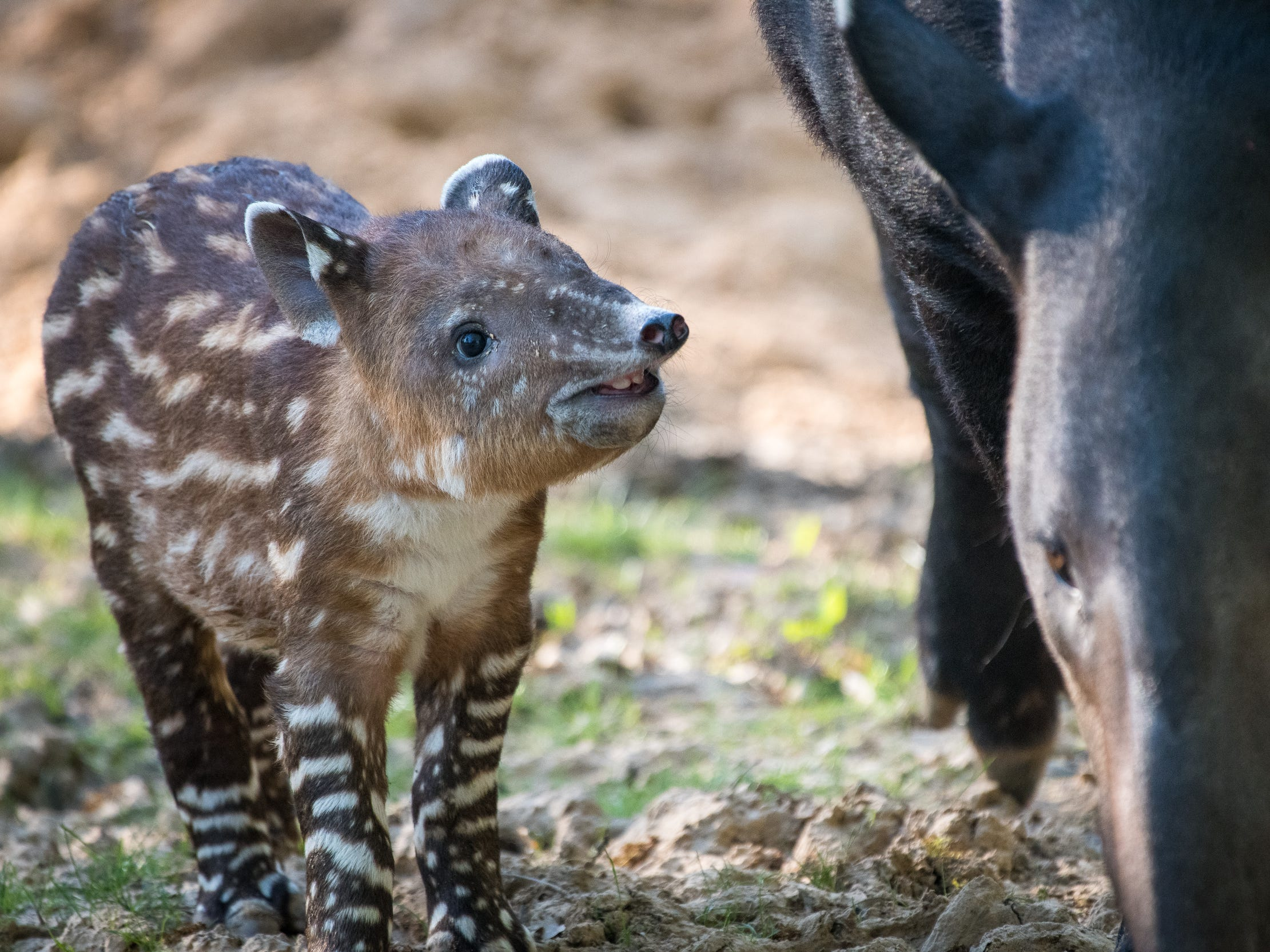 Frida, a baby Baird's tapir born on March 4 at the Houston Zoo, smiles for the camera.