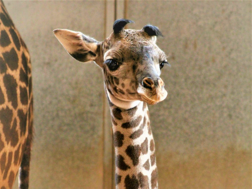 This female Masai giraffe was born on March 22 at the Phoenix Zoo and is currently in the giraffe barn bonding with her mom until she is big enough to be introduced to the Savanna habitat.