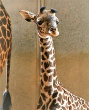 This female Masai giraffe was born on March 22 at the Phoenix Zoo.