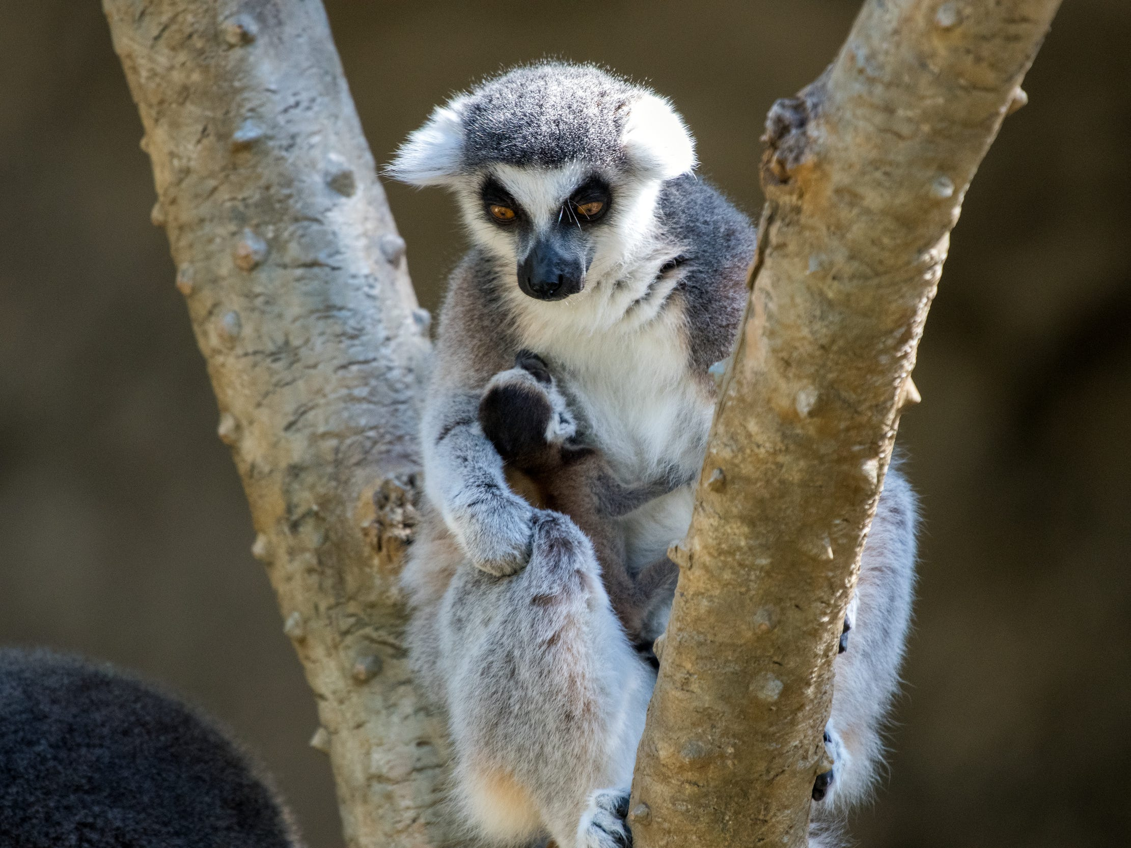 A baby ring-tailed lemur, born on Jan. 21, looks up at mom. The two can be seen in the Wortham World of Primates at the Houston Zoo.